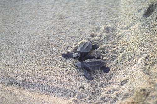 Baby turtles in Cabo San Lucas